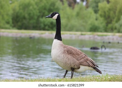 Canadian Goose, New Zealand