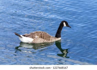 Canadian Goose at Ontario Lake