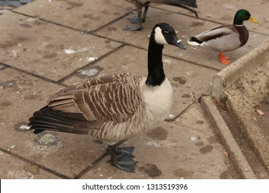 Canadian goose preening itself on the riverbank of the Lea as it runs through Hertford in England, north of London