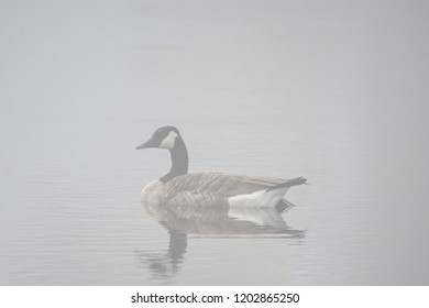 A Canadian Goose rest on the water