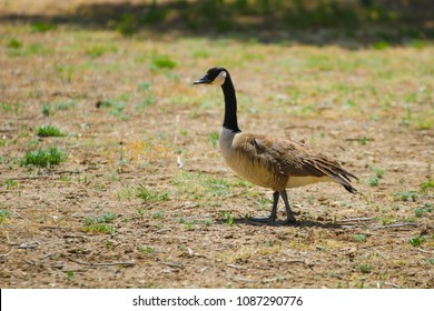 Canadian Goose Standing