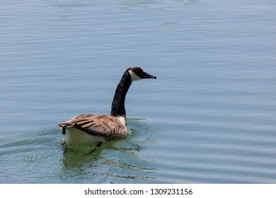 A Canadian goose swimming across a calm pond on a sunny day in spring.