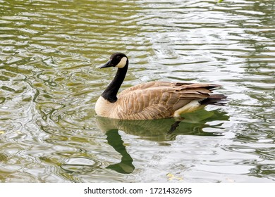 Canadian goose swimming in a river