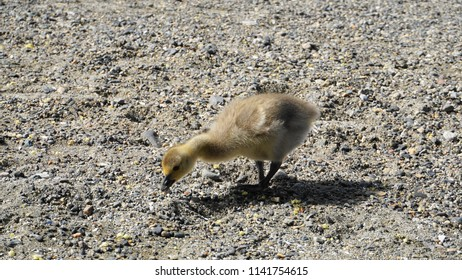 Canadian gosling on the sand beach.