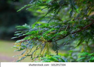 Canadian hemlock branches and leaves in a closeup. Eastern hemlock also known as eastern hemlock-spruce, Tsuga canadensis, showing new needle growth. State tree of Pennsylvania.