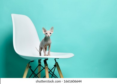 Canadian light pink sphynx cat kitten sitting on modern chair on light blue background