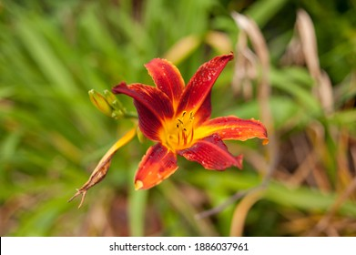 Canadian Lily flower shot in a narrow depth of field