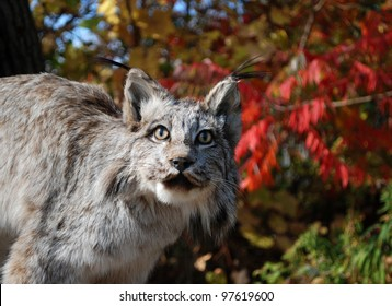 Canadian Lynx among the red fall leaf in the forest / Canadian Lynx