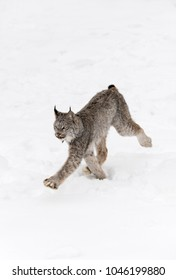 Canadian Lynx (Lynx canadensis) Moves Left - captive animal