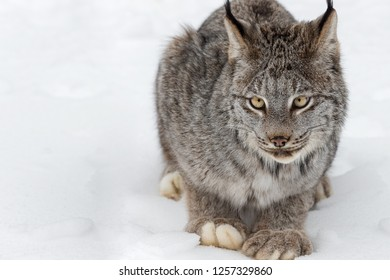 Canadian Lynx (Lynx canadensis) Sits in Snow Close Up