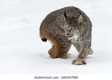 Canadian Lynx (Lynx canadensis) Step and Turn Winter - captive animal