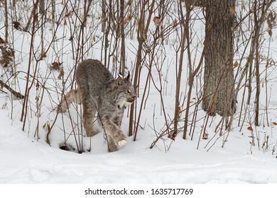 Canadian Lynx (Lynx canadensis) Steps Through Brush Winter - captive animal