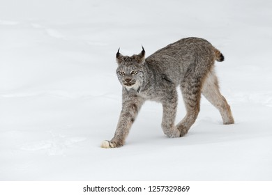 Canadian Lynx (Lynx canadensis) Walks Left Ears Back - captive animal