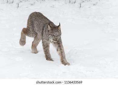 Canadian Lynx (Lynx canadensis) Walks Right Back Paw Up - captive animal