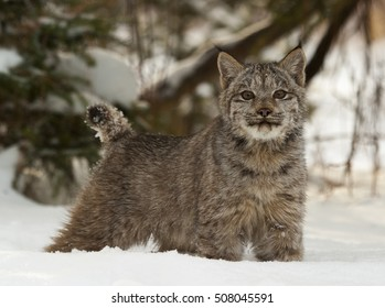 Canadian lynx in deep snow with pine trees