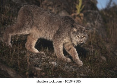 Canadian Lynx (Lyns canadensis) enjoys a limited range in the lower 48 states but is relatively wide spread in Alaska and Canada where it preys on the Snowshoe Hare.