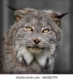 A Canadian lynx with yellow eyes closeup