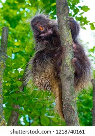 Canadian or North American tree porcupine Erethizon dorsatum