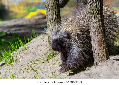 Canadian or North American tree porcupine - Erethizon dorsatum - is walking on the ground