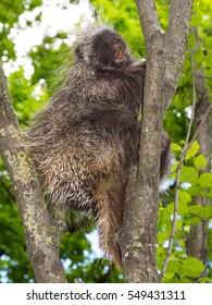 Canadian or North American tree porcupine Erethizon dorsatum