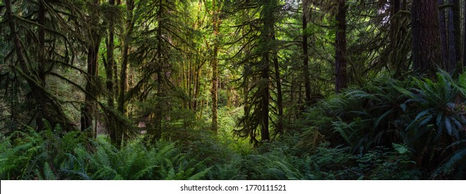 Canadian Rain Forest. Beautiful View of Fresh Green Trees in the Woods with Moss. Taken in Golden Ears Provincial Park, near Vancouver, British Columbia, Canada. Panorama Nature Background