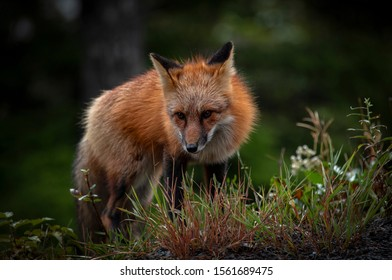 Canadian Red Fox in northern British Columbia.
