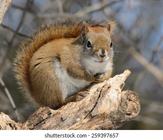 Canadian red squirrel with tail up against back in winter