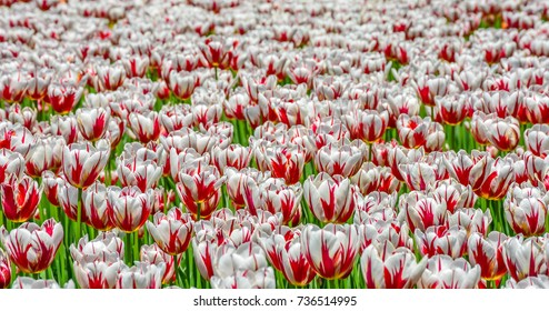 Canadian Red and White Tulips