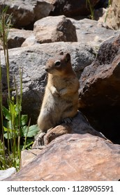 Canadian Rockies chipmunk