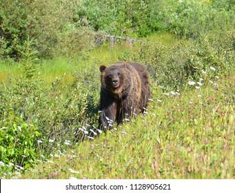 Canadian Rockies mama brown bear walking along trail