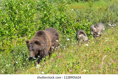 Canadian Rockies mama brown bear and two cubs walking along trail