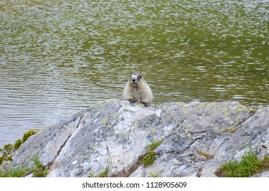 Canadian Rockies marmot at Helen Lake