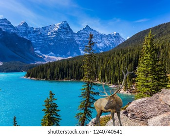 Canadian Rockies, Province of Alberta. Magnificent red deer with horns on high bank of Moraine Lake. The concept of ecological, photographic and active tourism