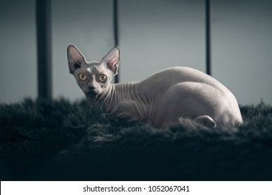 Canadian Sphinx hairless cat on a fur blanket look to the camera.