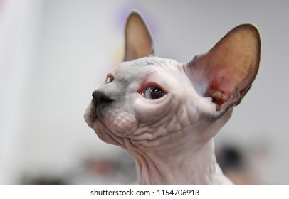 A Canadian Sphynx cat