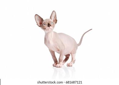 Canadian sphynx cat kitten on white background