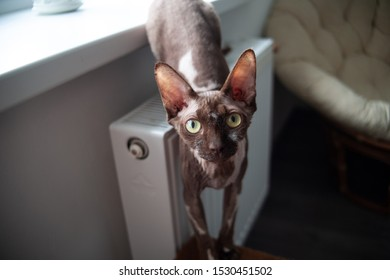 Canadian sphynx cat looking at the frame. canadian brown sphinx brush sitting on a heating radiator