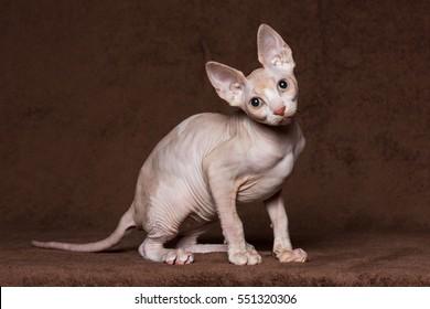 Canadian sphynx Cat sitting.