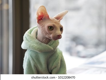 Canadian Sphynx cat wearing commercially available jacket