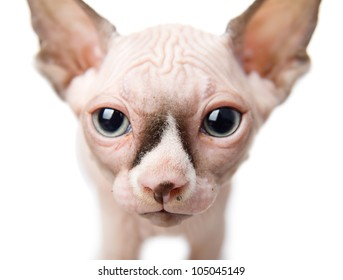 Canadian sphynx closeup.  isolated on white background