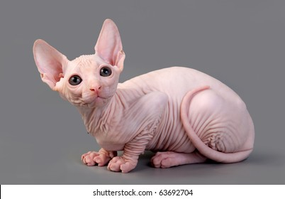 The Canadian sphynx on a gray background