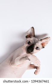 canadian sphynx on white background. Bald / naked cat. Sphynx cat isolated on white. Place to insert text. For advertising, veterinary clinics, sales of feed and animal accessories. Sphynx portrait