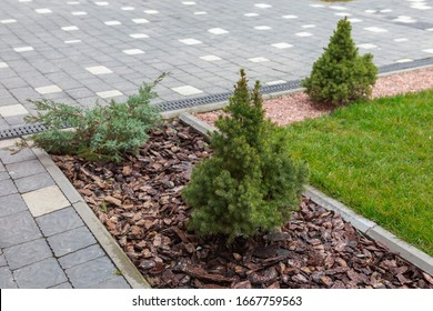 Canadian spruce conic, beautiful green tree close-up. Use of Canadian spruce conic in ornamental landscaping. Picea glauca Conica dwarf decorative coniferous evergreen tree.