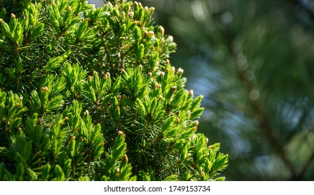 Canadian spruce Picea glauca Conica in focus on left. Close-up bright green young short needles on blurred background. Nature concept for design. Place for your text. Selective focus
