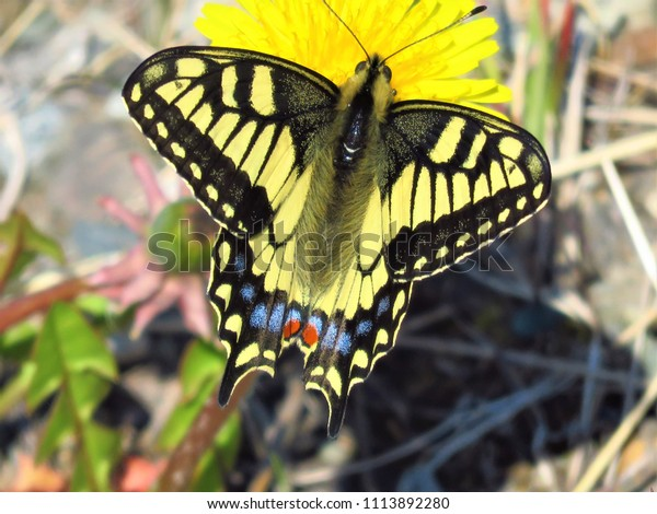 Canadian Tiger Swallowtail Butterfly Anchorage Alaska Stock Photo