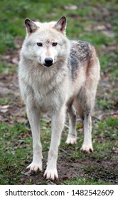Canadian timber wolf (Canis lupus occidentalis) looking towards camera.