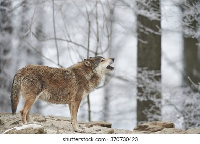 a canadian timberwolf in winter