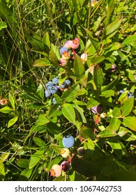 Canadian wild blueberries growing in the leafy field in New Brunswick Canada