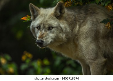 Canadian Wolf in the shadows of the forest