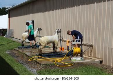 Canandaigua, NY/USA - 07/22/2017: Two exhibitors bathe their sheep before the county fair's sheep show.